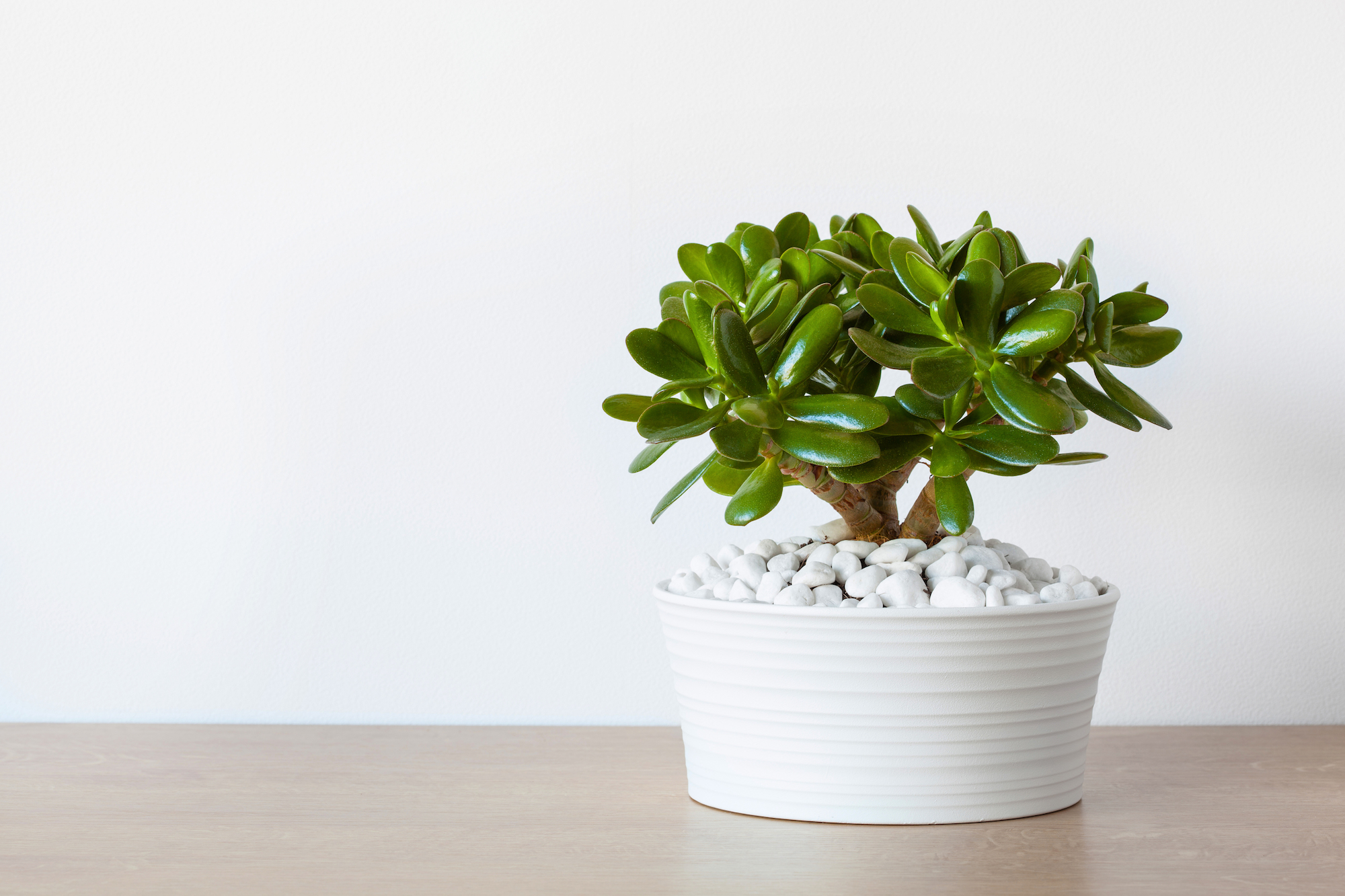 Jade Plant for Indoor Garden