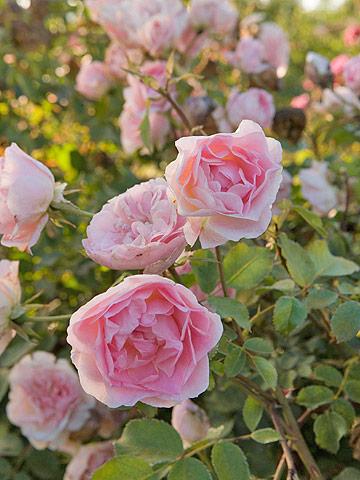 Be rose-savvy