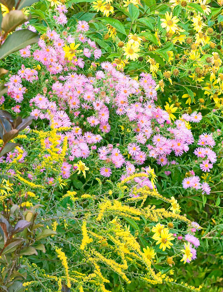 Goldenrod and 'Honeysong Pink' aster