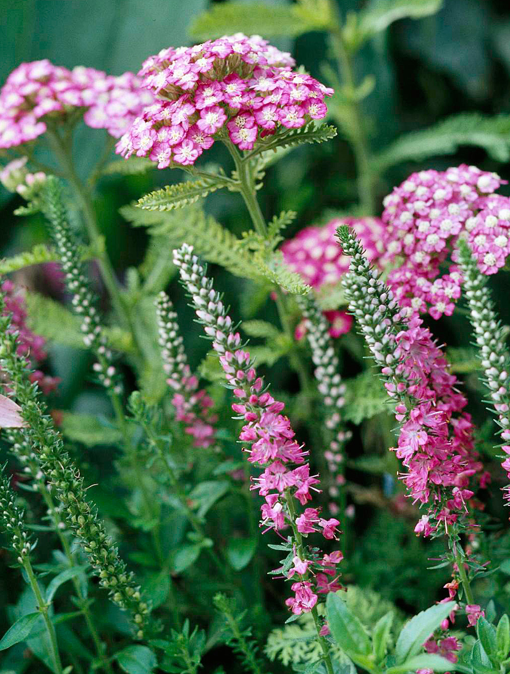'Cerise Queen' yarrow and 'Tickled Pink' veronica