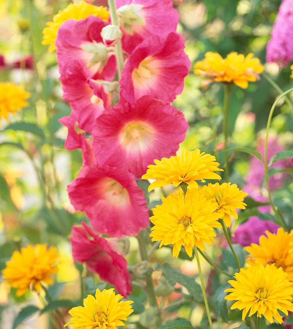 Hollyhock and oxeye