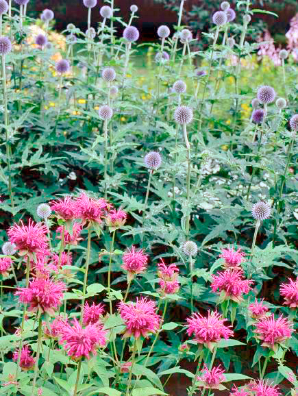 Bee balm and globe thistle
