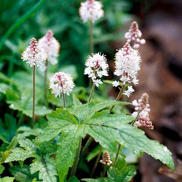 Spiky foamflowers