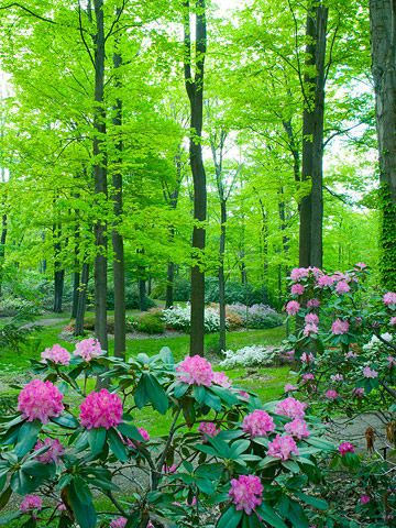 Midwest rhododendrons
