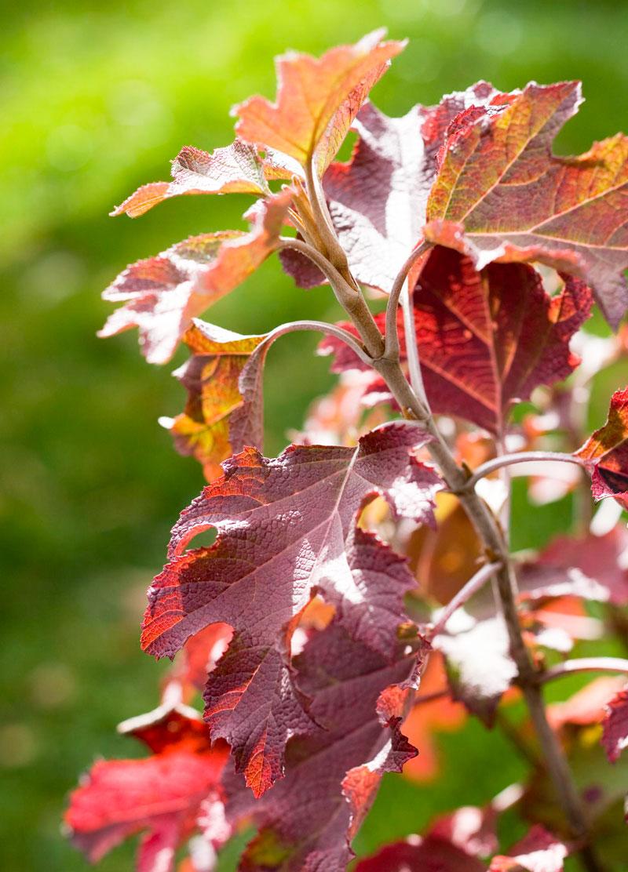 Purple: Oakleaf hydrangea