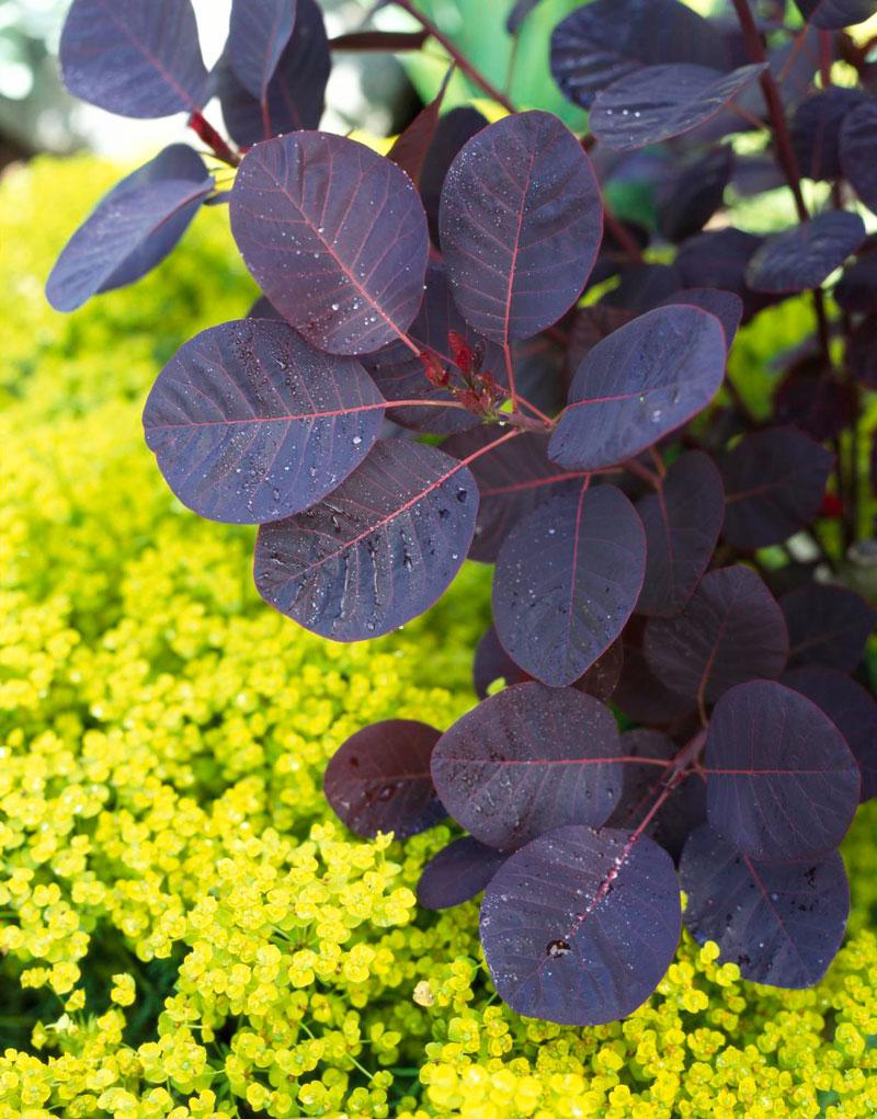 Purple: Smoke bush