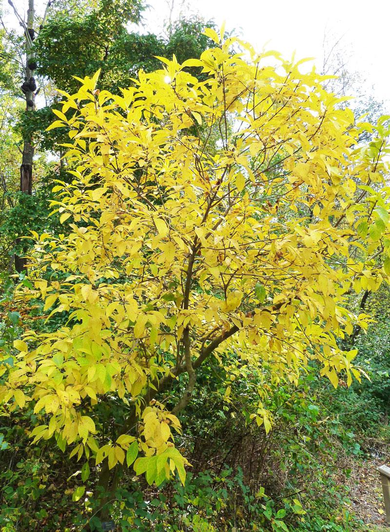 Yellow: Fringe tree