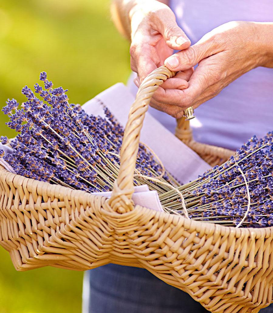 Visit lavender farms
