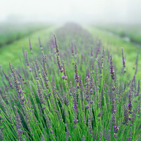Grow lavender in your yard