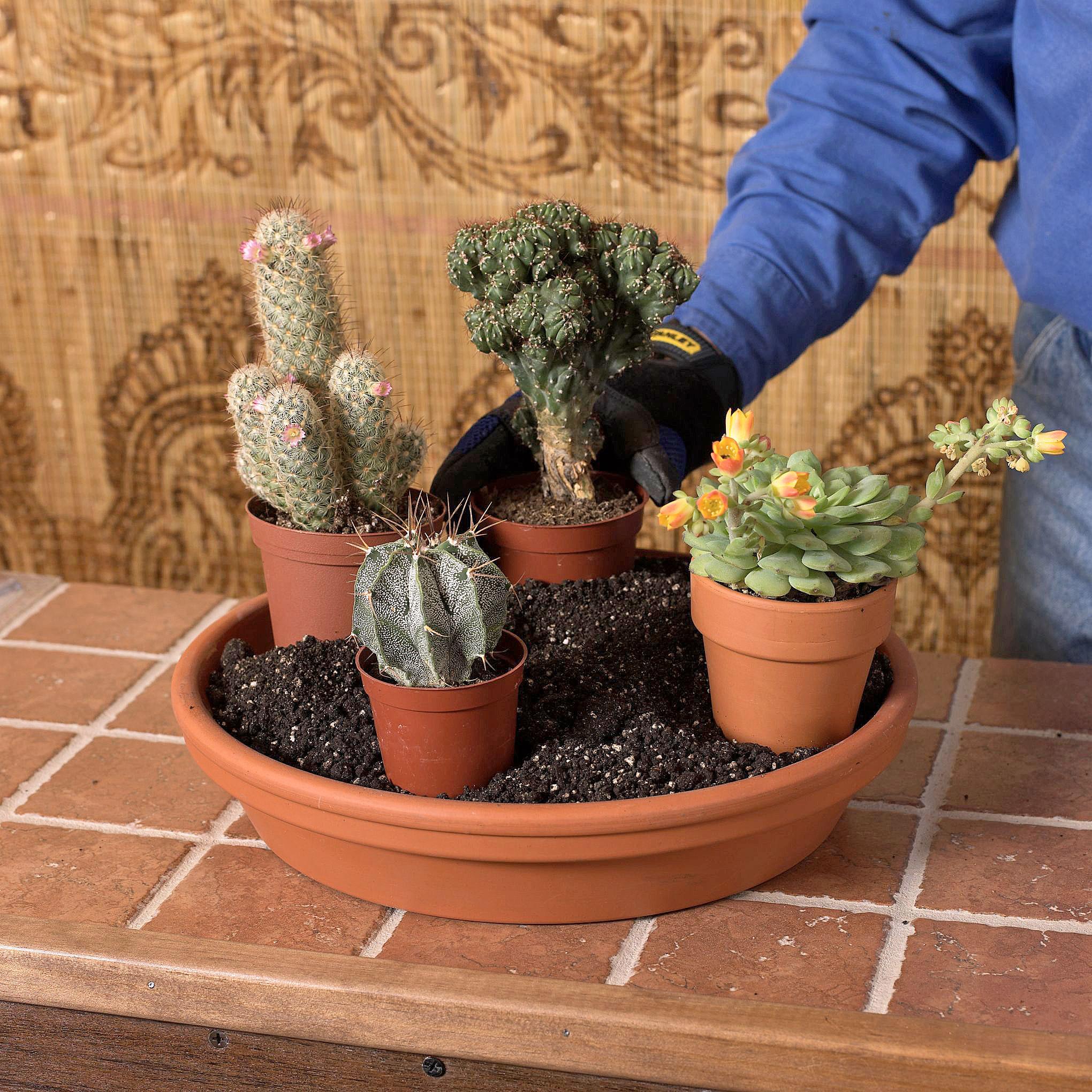 Arranging the cacti