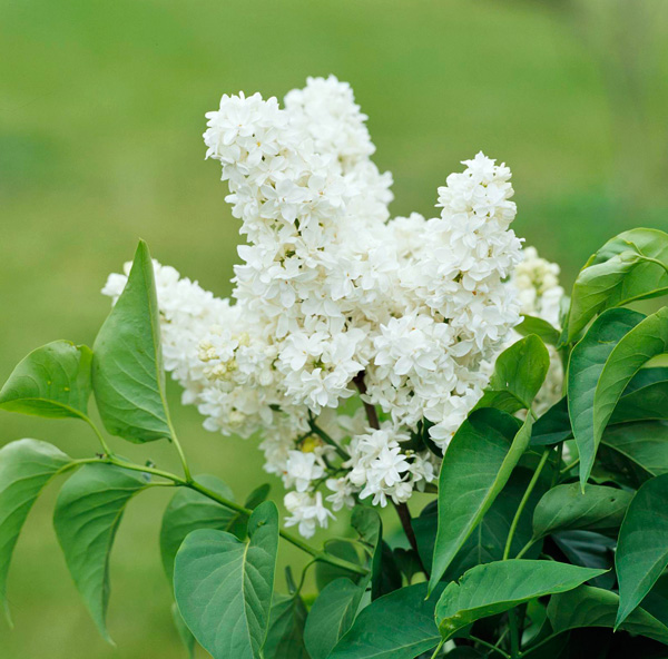 5 Top Flowering Plants For Mother S Day Midwest Living