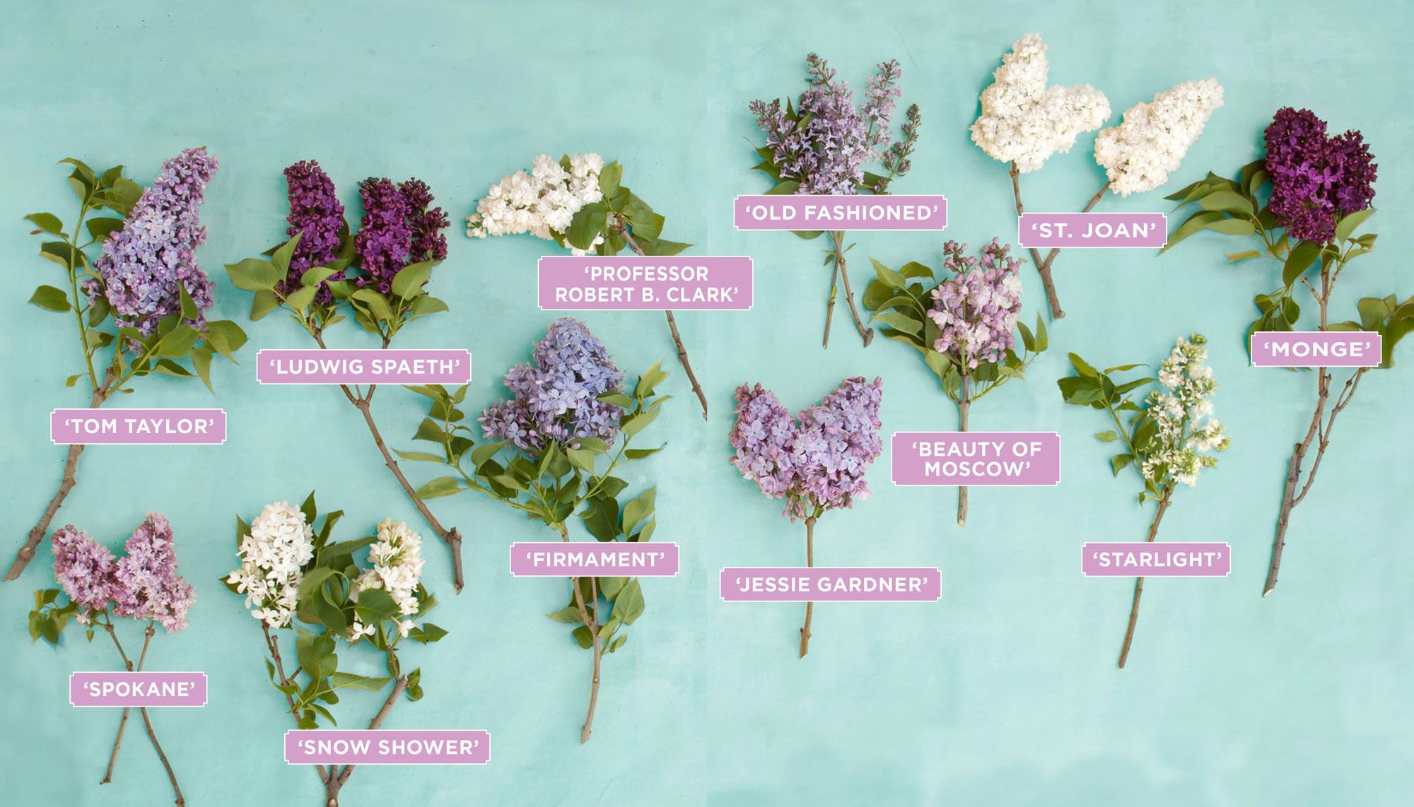 Lilac varieties