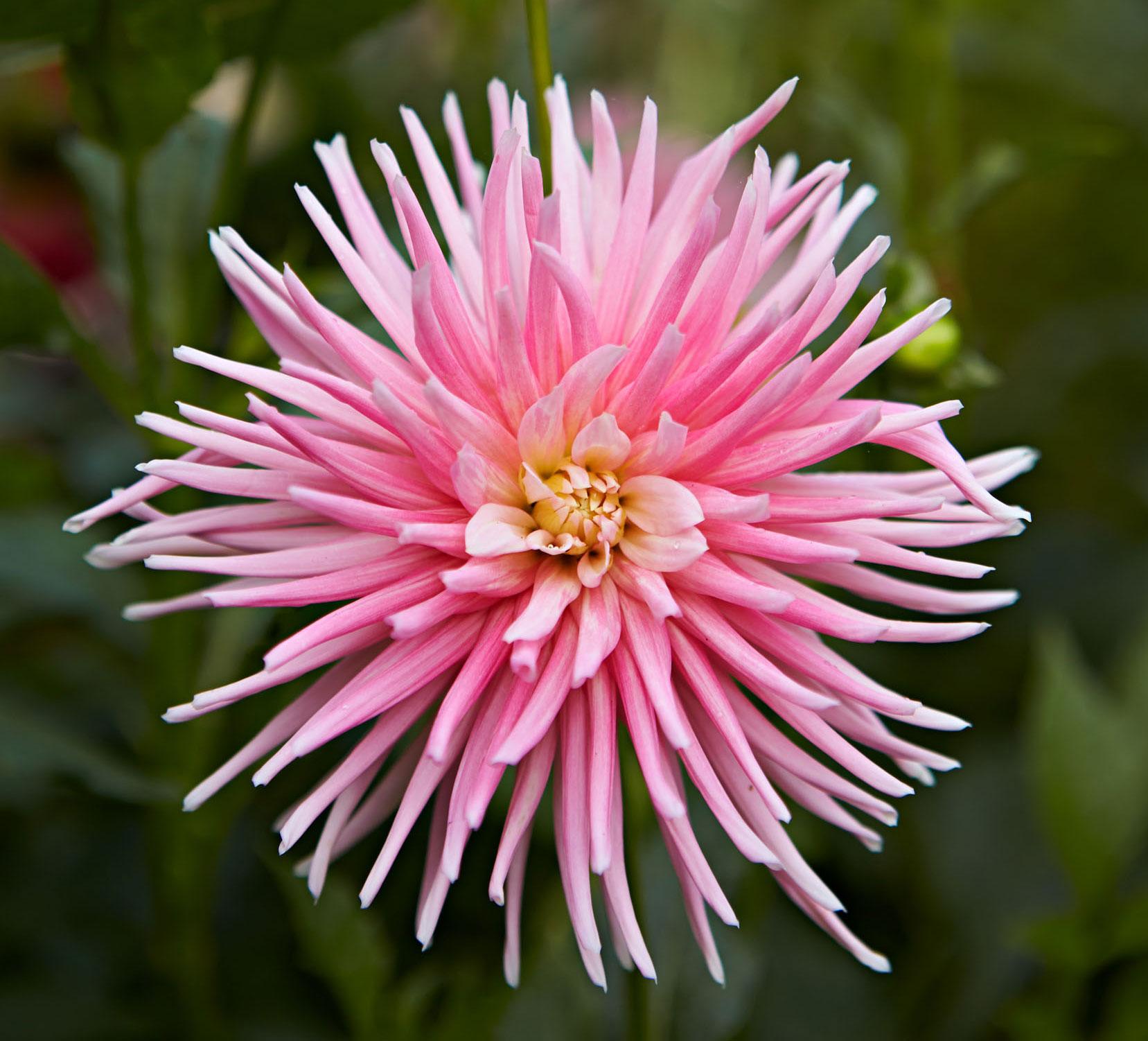 Bloomed Dahlias