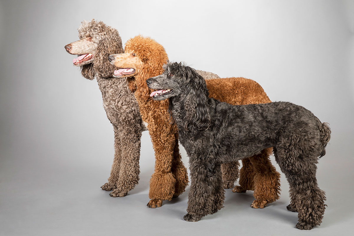 Poodles in three colors
