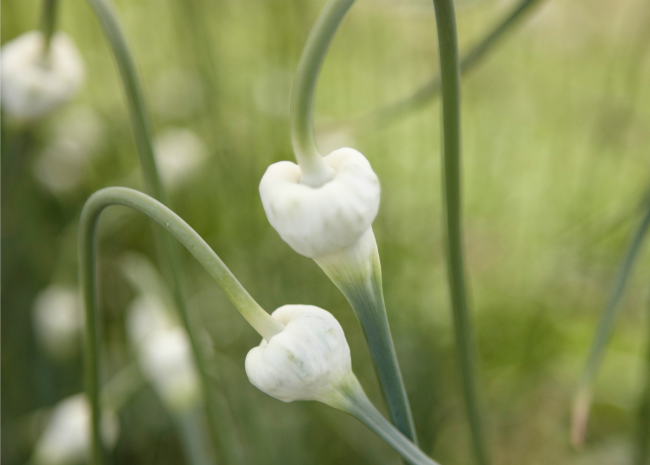 Garlic scapes. Photo by Meredith