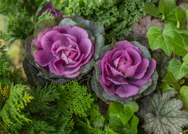 Ornamental kale. Photo by Meredith