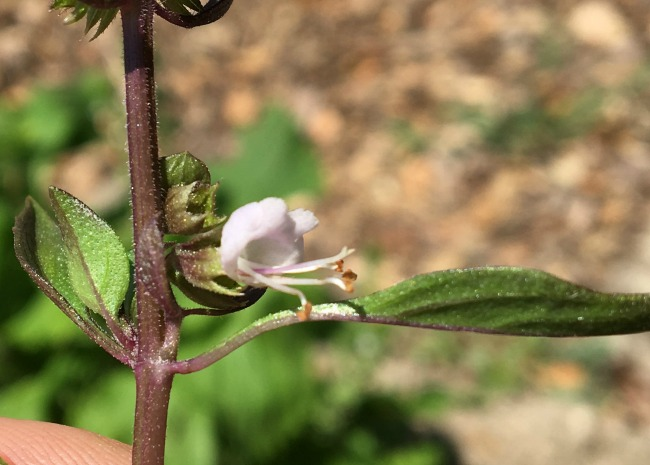 Thai Basil Blossom. Photo by King & King Ranch