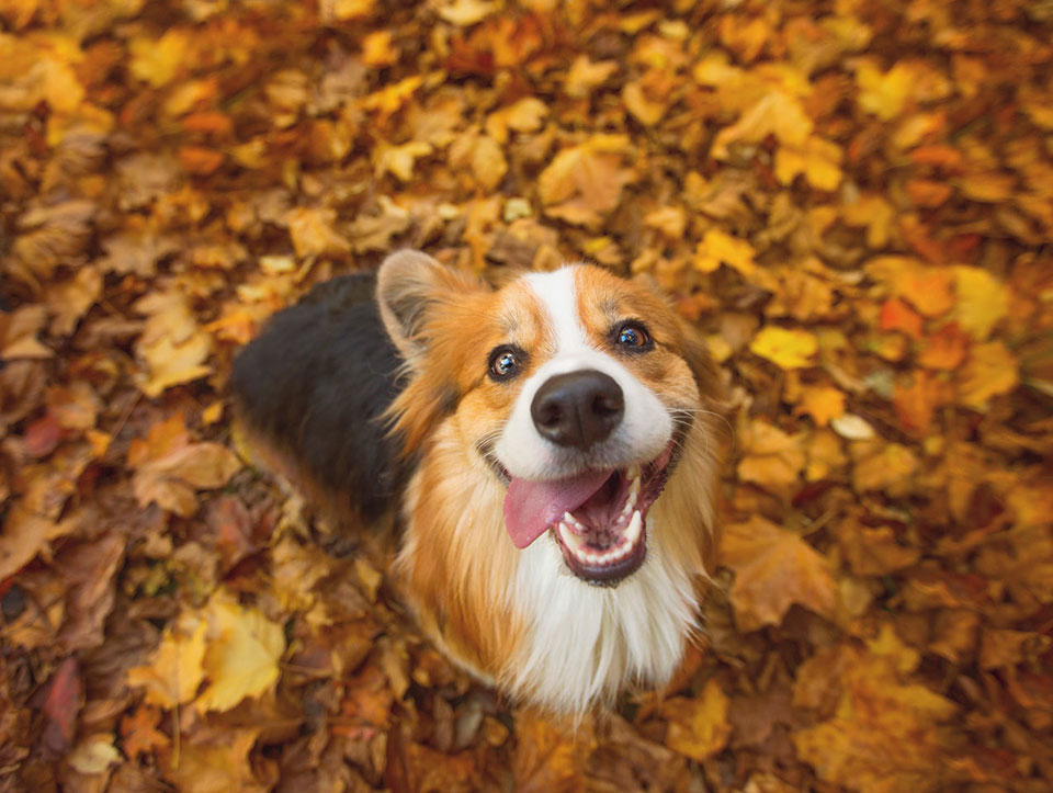 cute dog smiling while sitting in a pile of autumn leaves