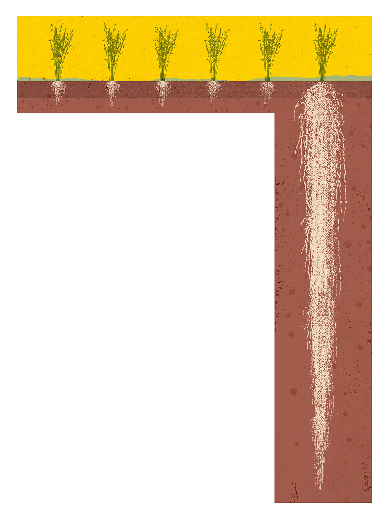 Illustration of a cross section of several grains with roots visible in the ground, the last grain with roots that reach very far down into the ground