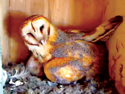 THE OWL BOX on Ustream From the site that gave us the Shiba Inu Puppy Cam comes a new sensation: Molly the owl and her…