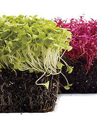 images-sys-fw200801_a_microgreens.jpg