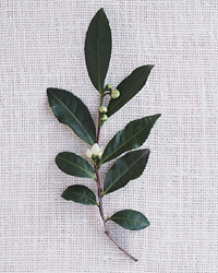 images-sys-200803-a-camellia-sinensis.jpg