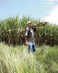 images-sys-200805-a-sugarcane.jpg