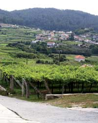 A vineyard in Spain's RÍas Baixas region.