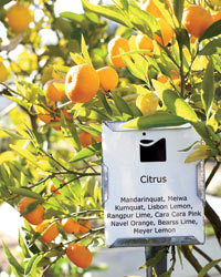 Medlock Ames winery: citrus trees