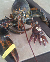 article-201309-HD-lola-six-clawed-lobster.jpg