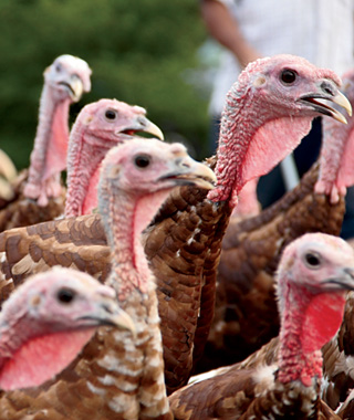 Perennial Plate: Wild Turkeys in Minnesota