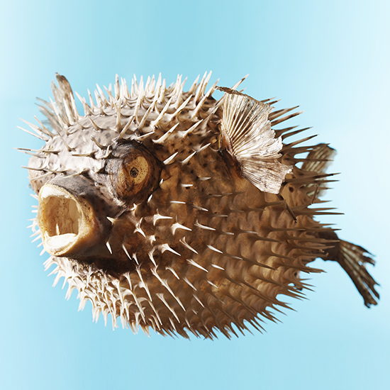 original-201409-HD-blowfish.jpg