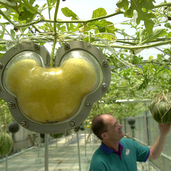 Mickey-Shaped Melons in Disney Greenhouses