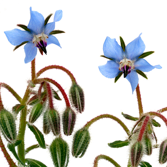 original-201501-HD-borage-blossom.jpg