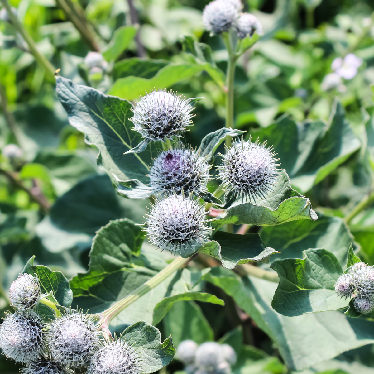 Burdock  Edible Weeds
