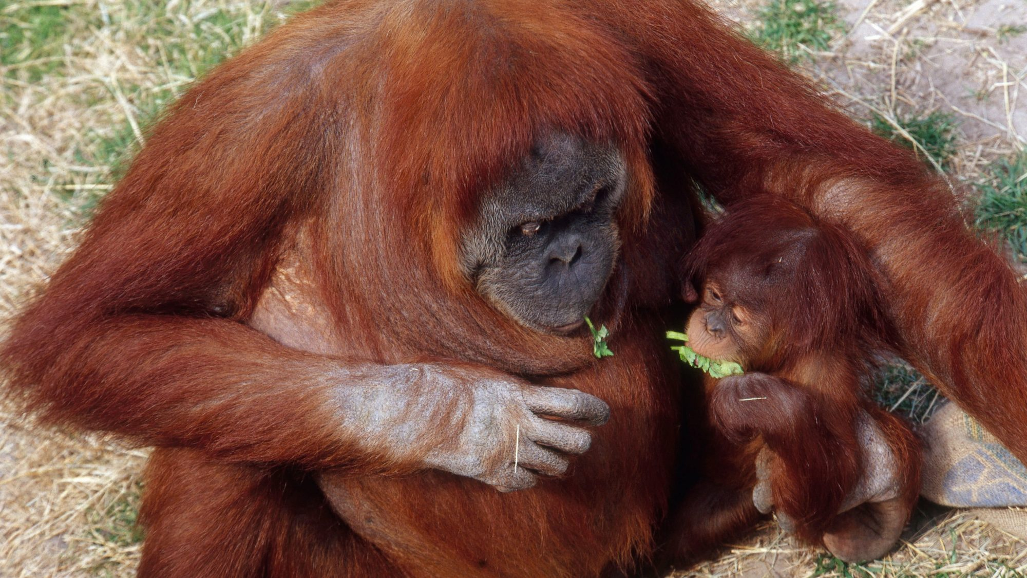 orangutans-FT-BLOG0816.jpg