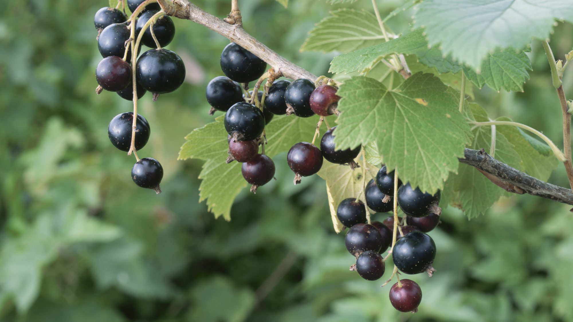 Blackcurrants available in U.S.
