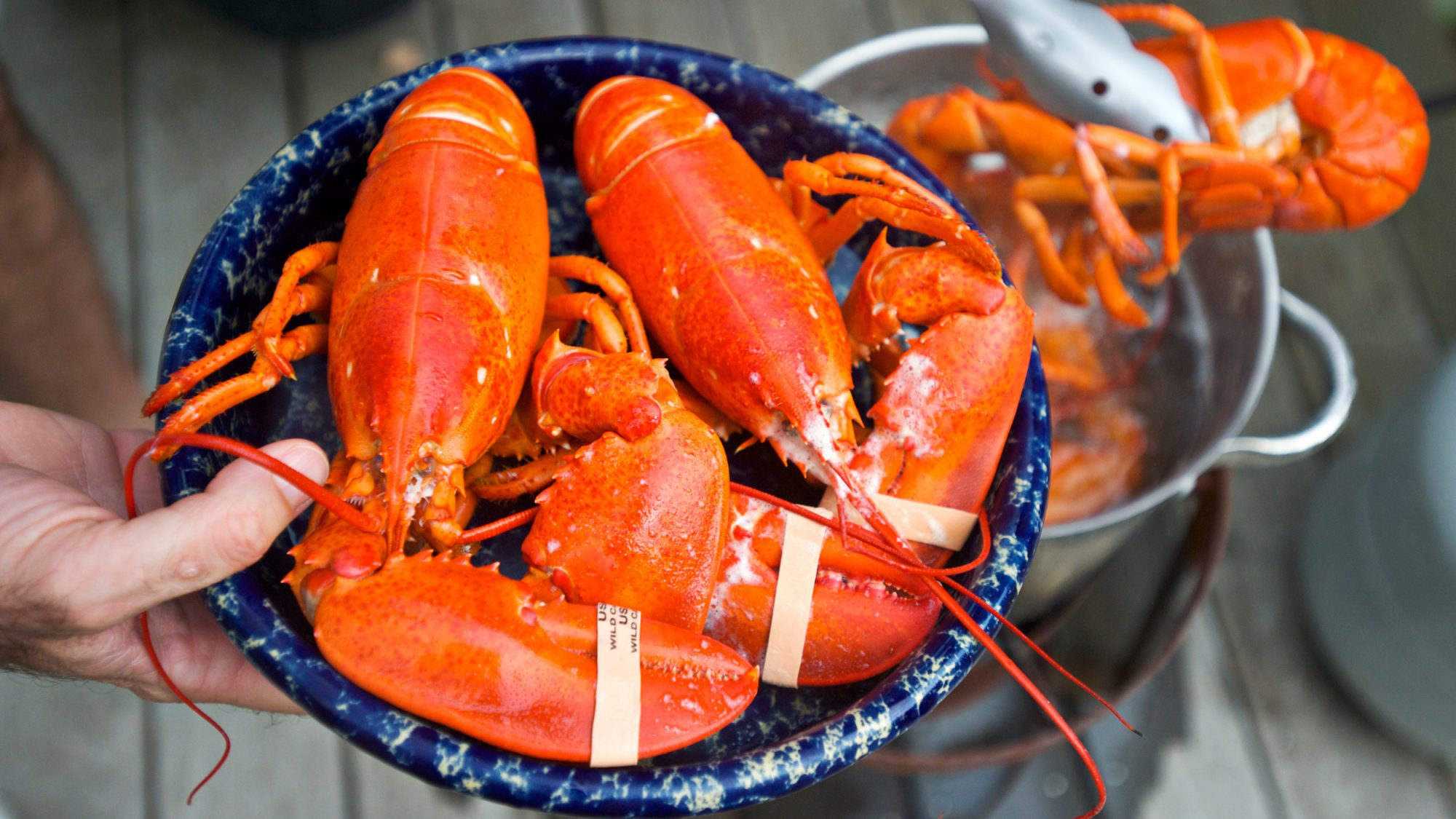 Maine Lobsters Could Become Extinct