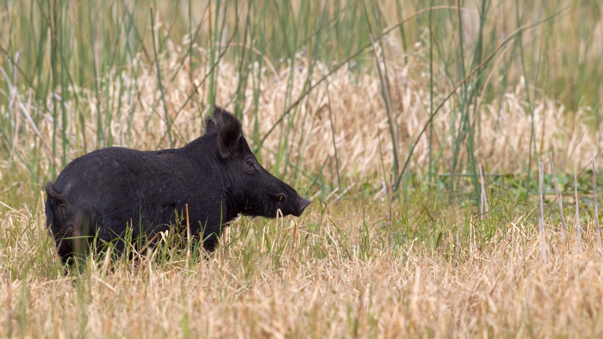 Wild Pigs in Florida