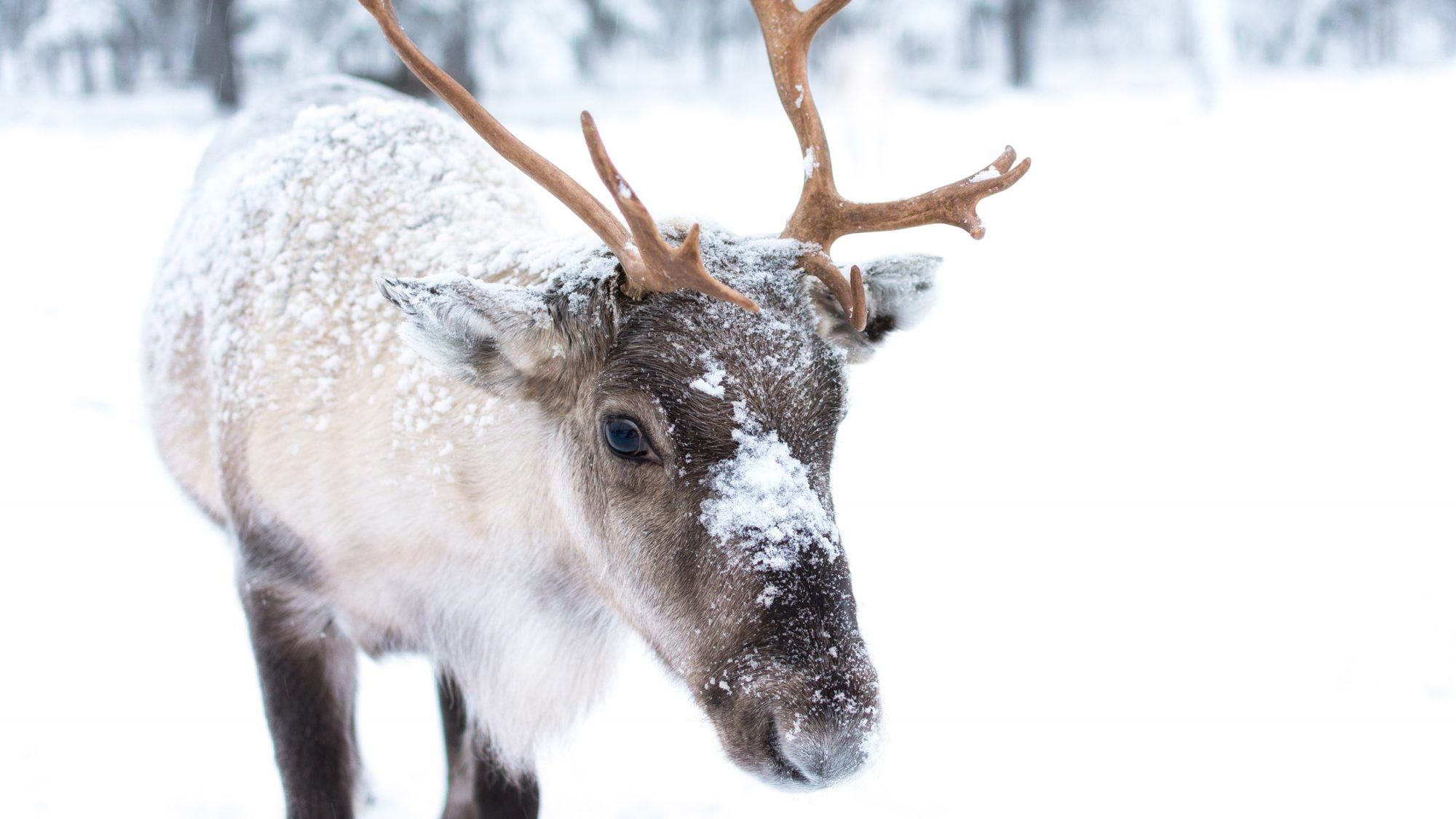 Reindeer Climate Change