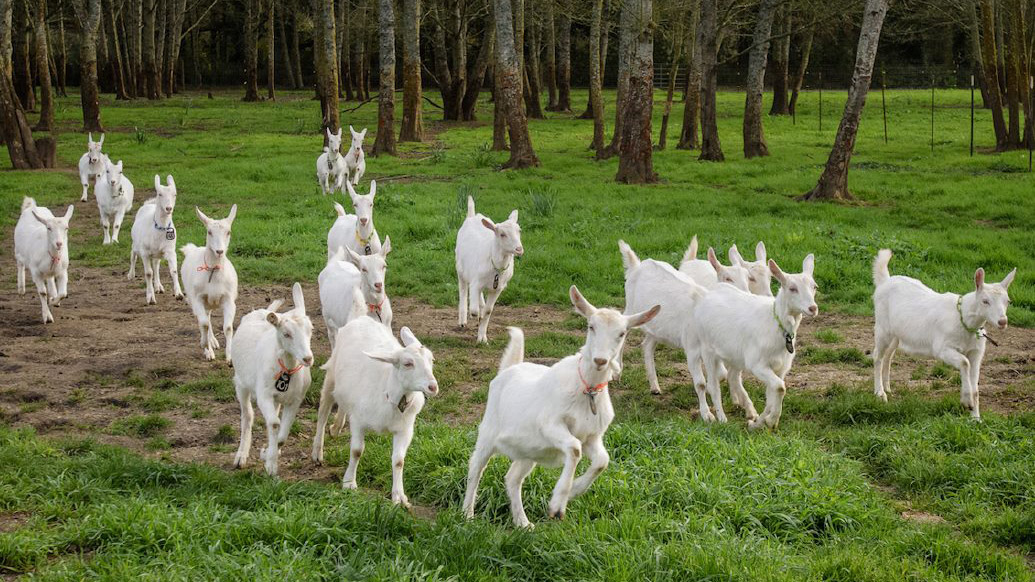 Cypress Grove Goats