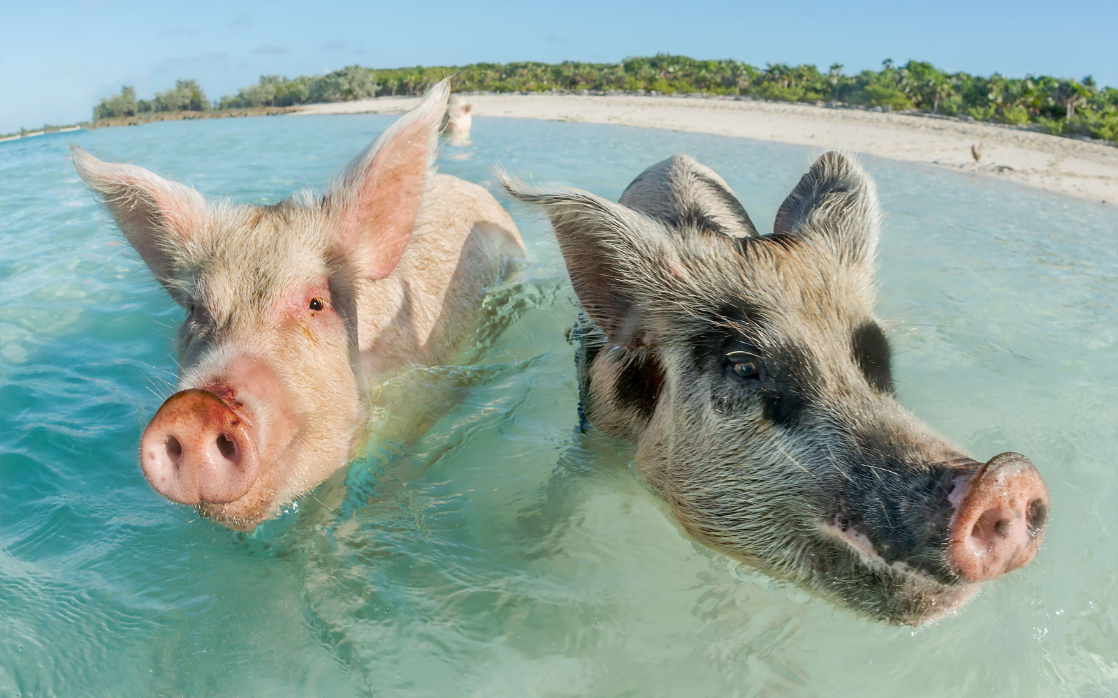 Widely Adored Swimming Pigs Found Dead in the Bahamas