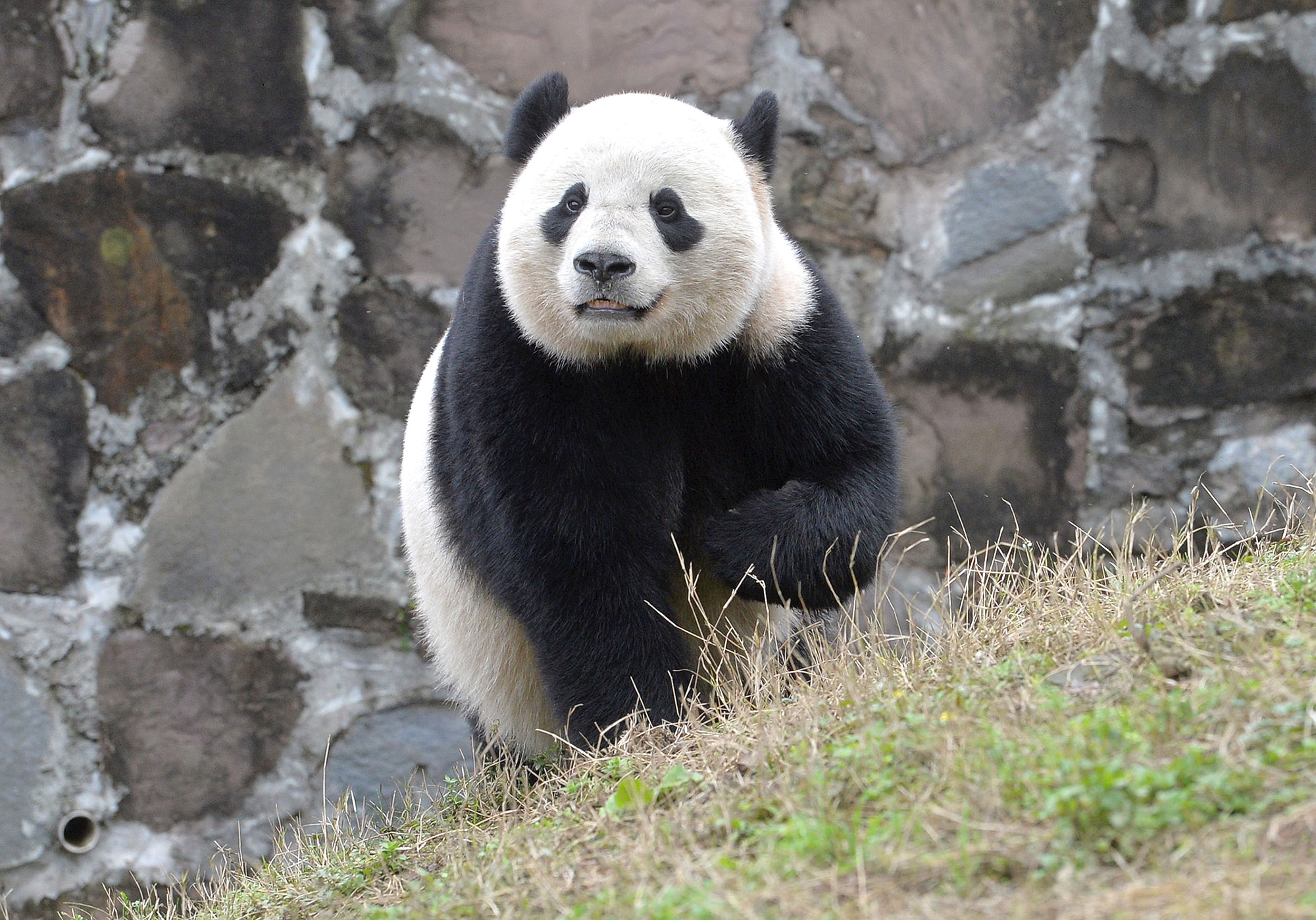 Bao Bao the Panda Bravely Adjusts to New Home in China Without Delicious American Cookies