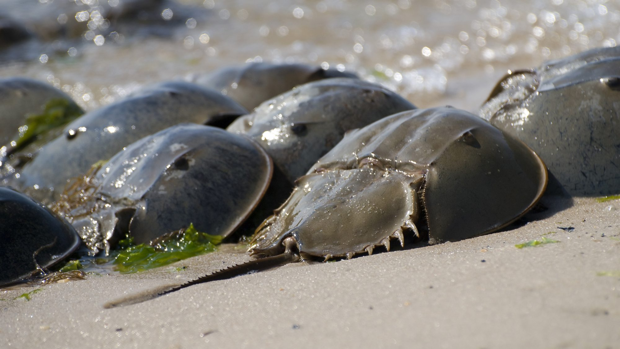 Why Horseshoe Crabs Are E. Coli's Worst Nightmare