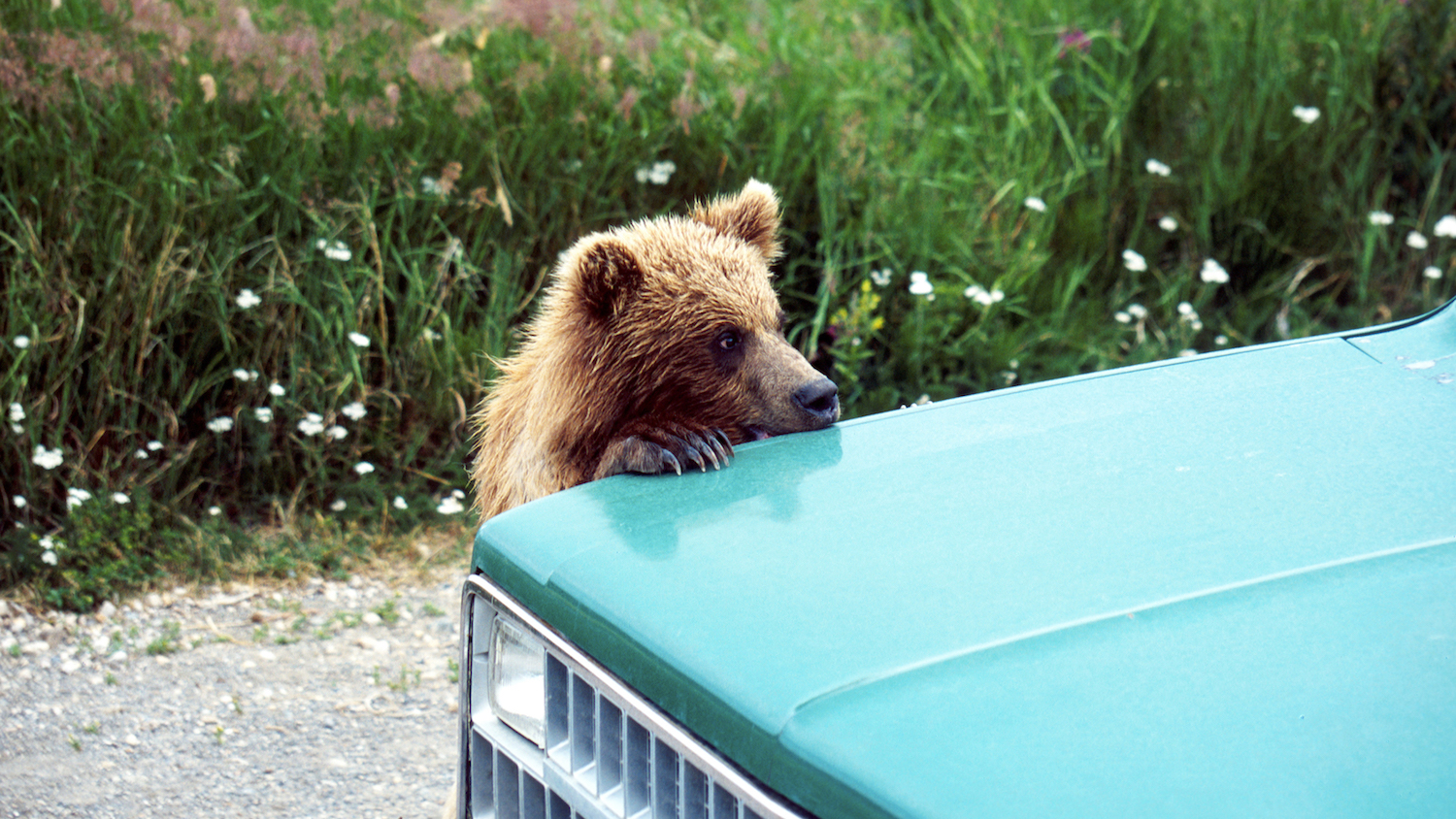 Hungry Bear Tries to Break into Doughnut Delivery Car