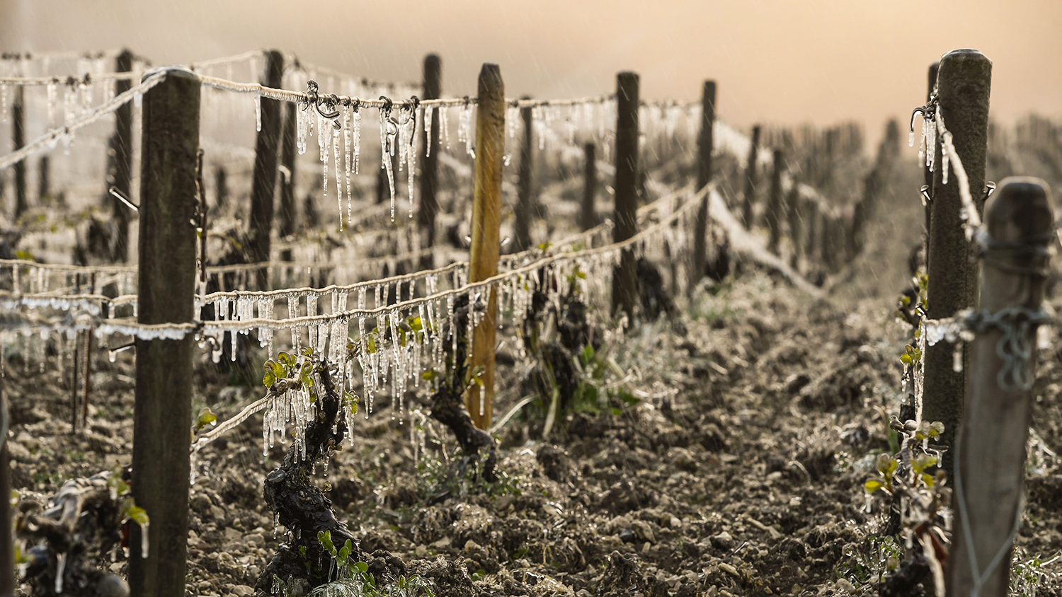frost on vines ruining wine production