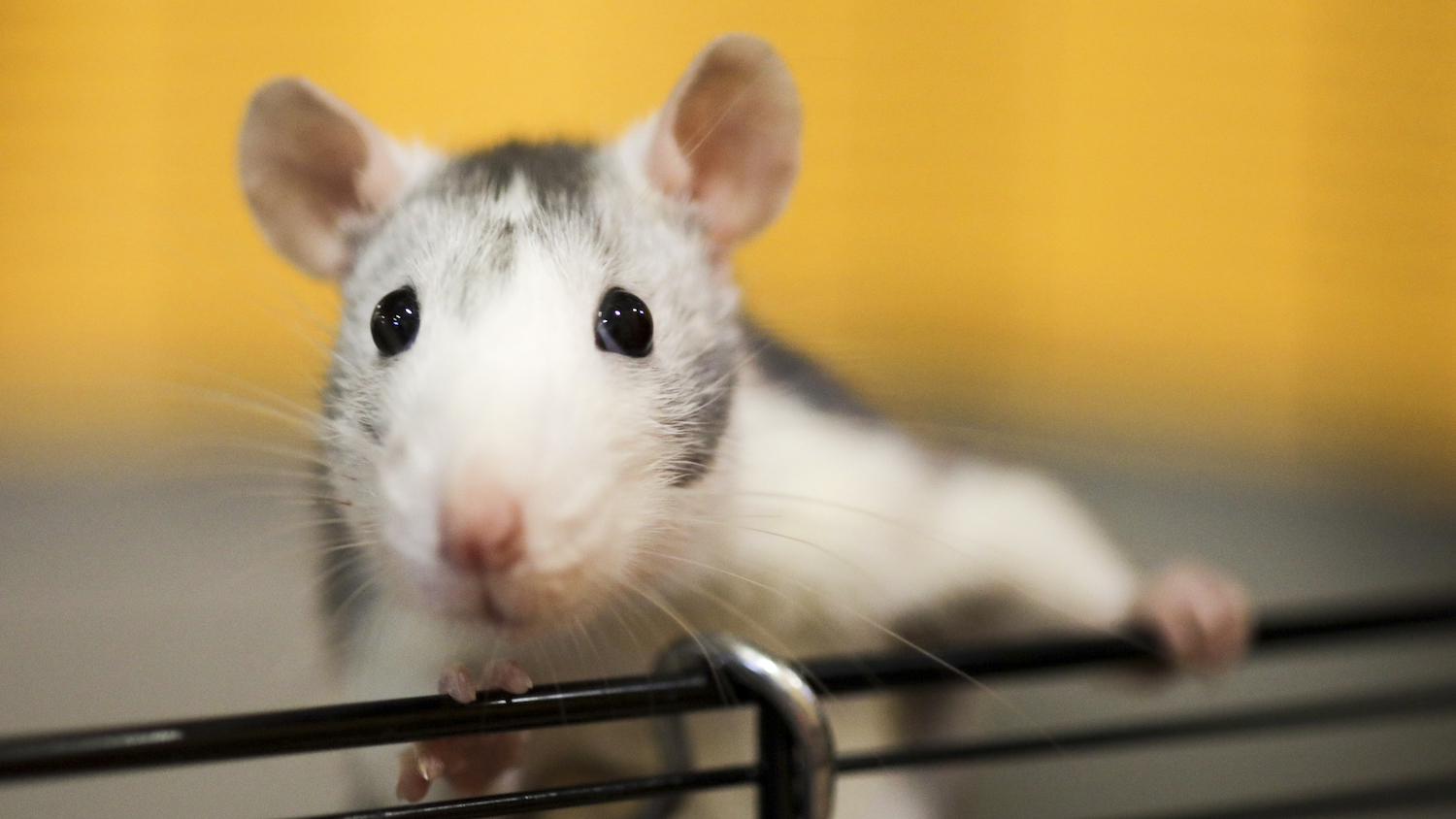 Rats blamed for disappearing alcohol