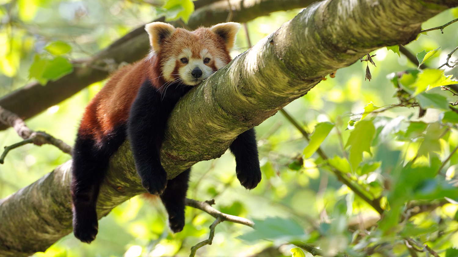 red pandas in forest