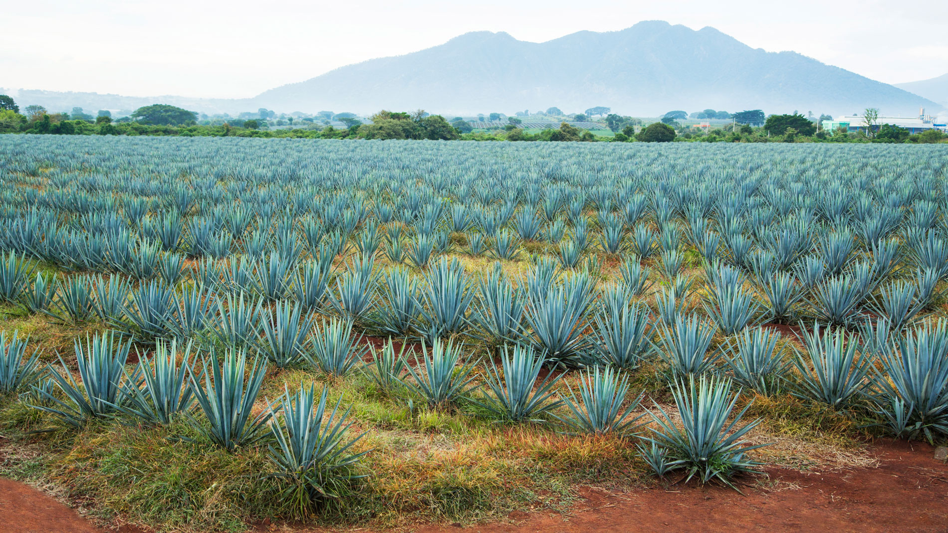Mexico's High-Tech Tequila Police Use Drones to Fight Agave Fraud