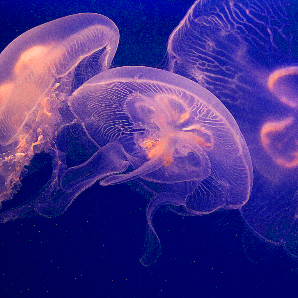 Can Vegetarians Eat Jellyfish?